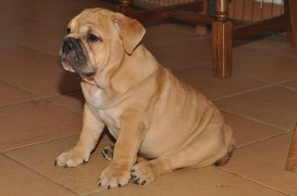 Continental Bulldog Seeblickbulls Big Oskar