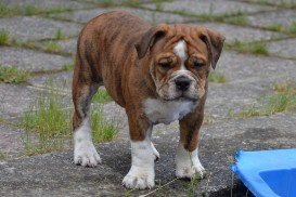 Continental Bulldog Seeblickbulls First Milow