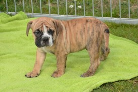 Continental Bulldog Seeblickbulls General Willi
