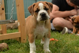 Continental Bulldog Seebklickbulls Holly