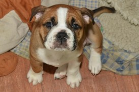 Continental Bulldog Seebklickbulls Joy
