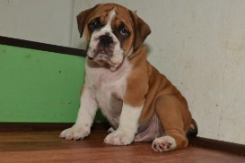Continental Bulldog Seebklickbulls JupiterJames Junior